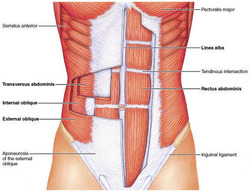 outer-core-abdominal-muscles